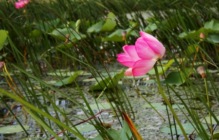 Pink lotus in the lake on green background in Anapa, Russia.