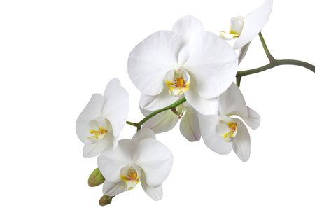 orchid flower: A tender white orchid. All isolated on white background.