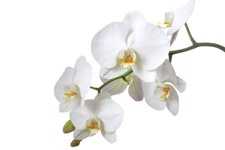 orchids: Una gara orchidea bianca. Tutti isolato su sfondo bianco.