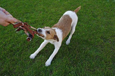 bullish: Un animale indisciplinato in una scuola di obbedienza cane. Archivio Fotografico