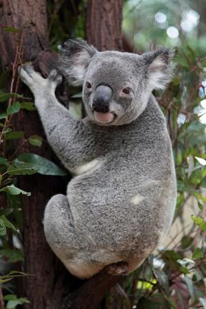 Koala sitting on an eucalyptus tree photo