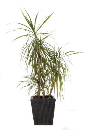 dragon vertical: Standard indoor plant dracaena marginata, also called dragon tree. All on white background. Stock Photo