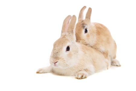 sexual reproduction: Mating rabbits. All on white background.