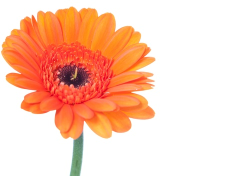 cut flowers: Single orange gerbera blossom  All on white background