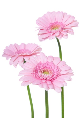 cut flowers: Fine pink gerbera  All on white background