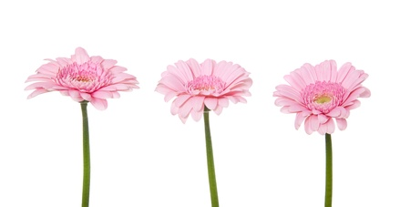 Fine pink gerbera  All on white background   photo