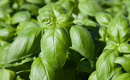 Fine grown basil herb plants