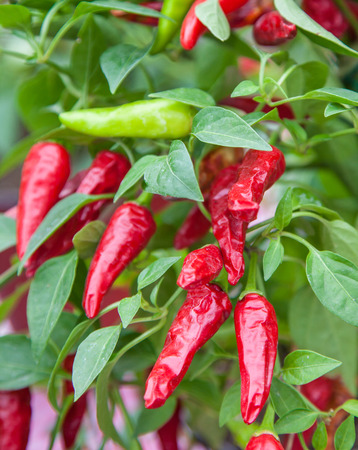 chilies: Fine grown chili pepper plant Stock Photo