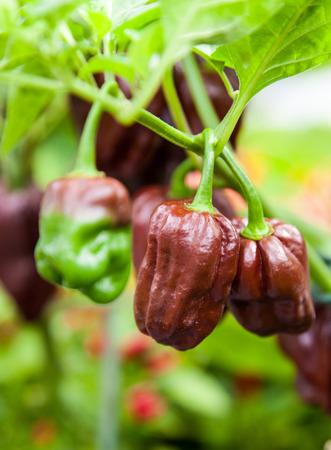 habanero: Fine grown chocolate habanero pepper