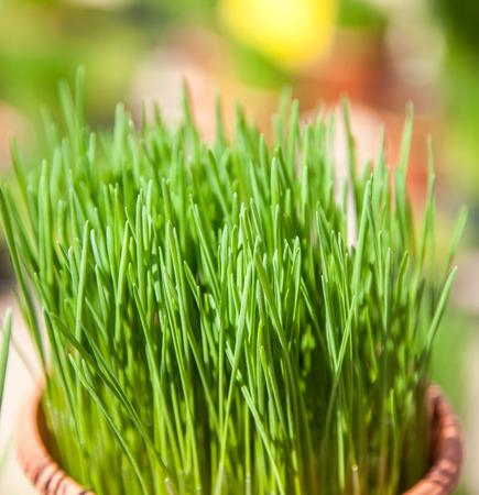 cebollin: cebollino muy bien cultivados en el mercado