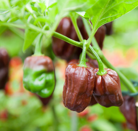 food and nutrition: Fine grown chocolate habanero on plant Stock Photo
