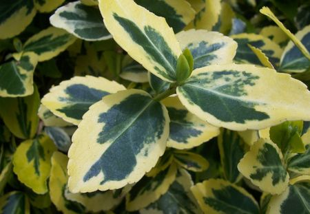 macro shot of variegated leaves on a shrub Stock Photo