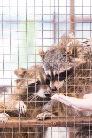 Two raccoons in a petting zoo take food from a mans hand through a metal fence. Childrens zoo. Banque d'images