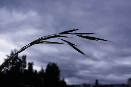 Silhouette of an Uncultivated Wild Grass Stem