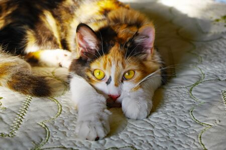 Young calico cat watching her environment as she rests 版權商用圖片