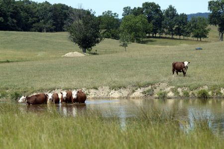 ungulates: Some brown cows take a dip in the pond on a hot summer day