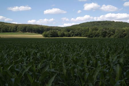 Lush field of young green corn plants growing in the hot july summer sun photo