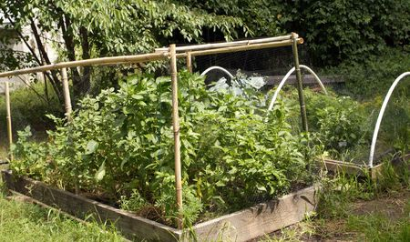 raised organic gardens containing basil and peppers