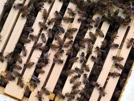 Honey Bee Colony: bees gathered on top of a wooden hive box. photo