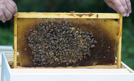 Bee keeper places a frame with brood (bee eggs), honey comb and lots of bees photo