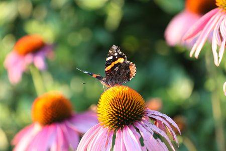 Butterfly and Flower  版權商用圖片