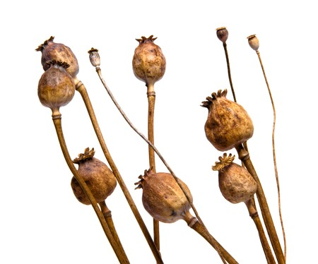 dry cultivated a willd poppy on white bacground Stock Photo
