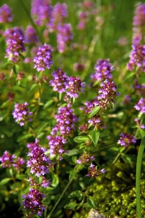 perianth: wild thyme flower on summer meadow
