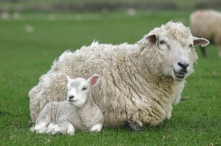mothering: Domesticated Farm Animal - Ewe   Lamb