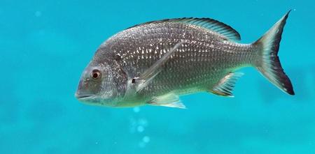 inddor: Silver fish in a large inddor aquarium