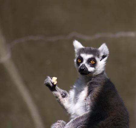 interrupted: lemur looking surprised or upset
