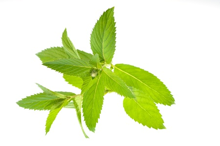mentha: Mentha piperita, swiss mint leaves