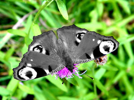 inconstant: Butterfly