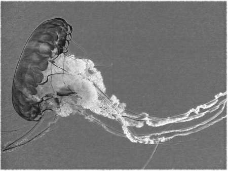 squalid: Jellyfish squalid black & white Editorial