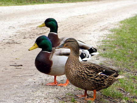 Three wild ducks walking on the path in the park Refrigerator
