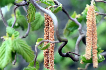 ample: Colorful bright high resolution image of hazelnut tree with structured green leaves and catkins on twisted branches