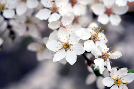 Branch of white wild spring cherry blossoms creating a fine background, high resolution.