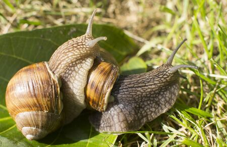 two snails on a green leaf in the garden