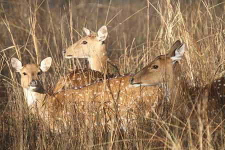 deer  spot: A group of spot deer in the grassland Stock Photo