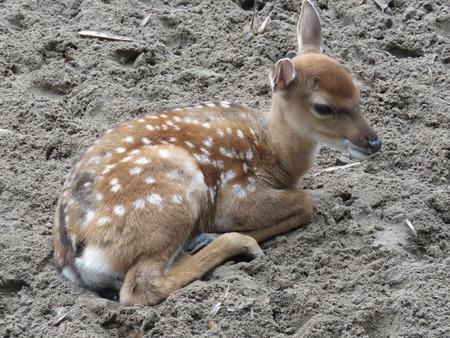 deer  spot: deer baby in Hanoi zoo