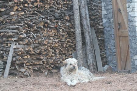 guard dog: guard dog on Himalayan mountain