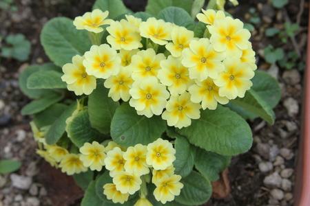 polyanthus: Polyanthus flower Stock Photo