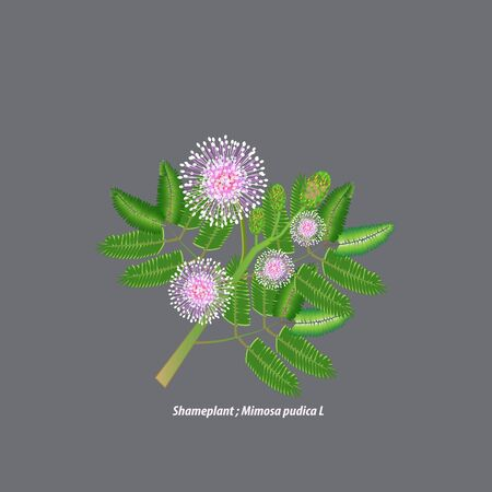 The sensitive plant is called Mimosa pudica. The sleepy plant is a kind of herb. Vector Illustration