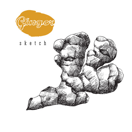 zest: Ginger root isolated vector, ginger sketch illustration, vintage spice hand drawn design. Illustration