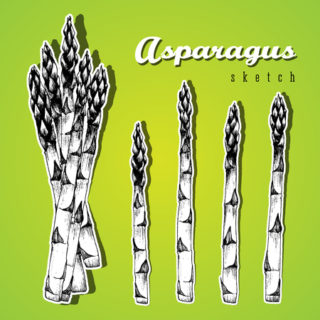 stalks: Bundle of asparagus and 4 stalks of asparagus vector isolated set sketch hand drawn black and white illustration on light green background.