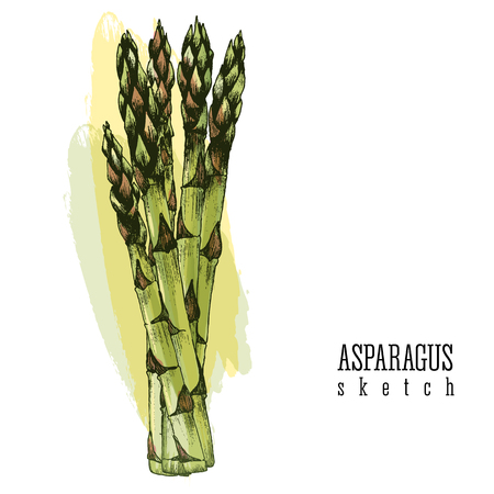 vegetable garden: Bundle of asparagus vector isolated color illustration sketch hand drawn on white and yellow background. Illustration