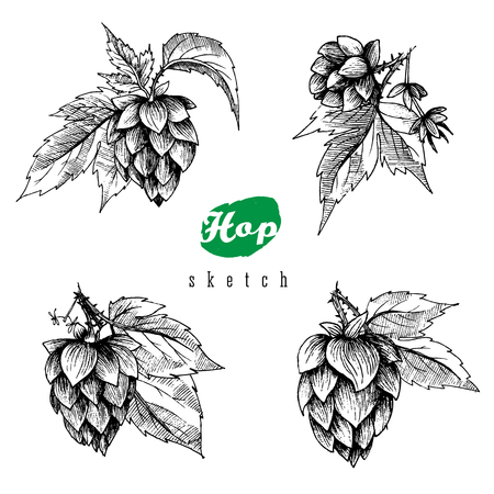 hops: Beer hops set of 4 hand drawn hops branches with leaves, cones and hops flowers, black and white, sketch and engraving design hops plants. All element isolated.