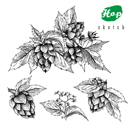 Beer hops set of 4 hand drawn hops branches with leaves, cones and hops flowers, black and white, sketch and engraving design hops plants. All element isolated.