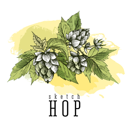 herbaceous: Common hop or Humulus lupulus branch with leaves and cones. Beer hops element colorful sketch and engraving design hops plants. All element isolated. Illustration