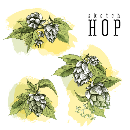common hop: Beer hops set of 3 hand drawn hops branches with leaves, cones and hops flowers, color sketch and engraving design hops plants. All element isolated, common hop.