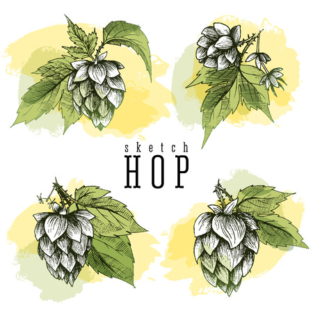 common hop: Beer hops set of 4 hand drawn hops branches with leaves, cones and hops flowers, color sketch and engraving design hops plants. All element isolated, common hop or Humulus lupulus branch.